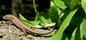 19b69defbb7a9c207bfdc0813403a320-300x139 カナヘビの寿命は?ペットで飼うと短命になる!?