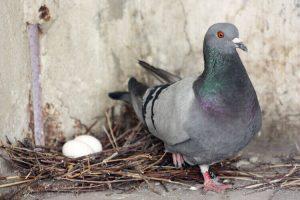 bd63e3b62f3efa37dda9f60dd98fa6d4-300x225 鳩(ハト)の寿命は?年に何個の卵を産むの?