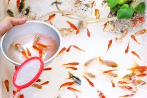 c55f90961092421a69065f5d75e5f309-300x200 金魚の「ポンプなし」での飼い方とは?