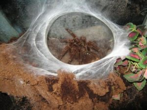 b86175f743e95f946f375dffd0e3f006-300x225 世界一大きい「蜘蛛」の驚愕の大きさとは?