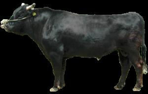 04b9137d77314277143cc81a652b7005-300x214 有名品種別「牛一頭」の値段相場まとめ!