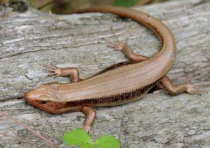 58aa255c64b6b34687156ce02969bdd7-300x200 「尻尾が青いトカゲ」の種類、理由、生態まとめ!